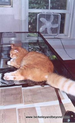 Florida-KeyWest-HemingwayMus-catArchibald MacLeisch reclines on display case-scan-400pix(cCaroleTerwilligerMeyers)