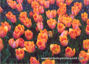 Holland-ApricotTulips1-300pix(cCaroleTerwilligerMeyers)
