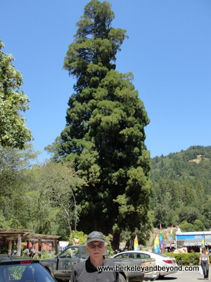 AVENUE OF GIANTS-PIERCY-Grandfather Tree-Grandfather Gene in front 2-c2015 Carole Terwilliger Meyers-400pix