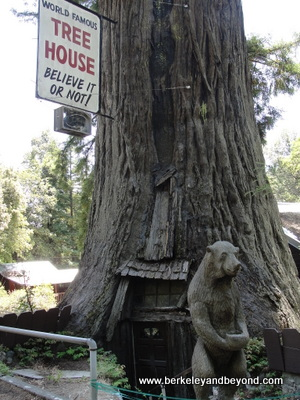 AVENUE OF GIANTS-PIERCY-World Famous Tree House-c2015 Carole Terwilliger Meyers-400pix