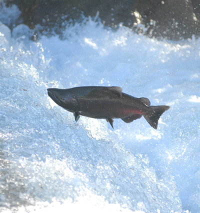 RED BLUFF-Salmon Hatchery-Fish-PR