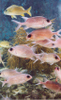 a-animal groups-CURACAO-Longspine Squirrelfish-c2003 Carole Terwilliger Meyers-100pix