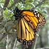 a-animal groups-Monarch butterfly-PISMO BEACH-Monarch Butterfly Grove-c2012 Carole Terwilliger Meyers-orig-100pix