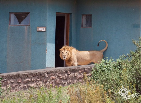 18-loos with a view-Africa-Tanzania-Ngorongoro Crater-lion-c Jane Canapini-600pix