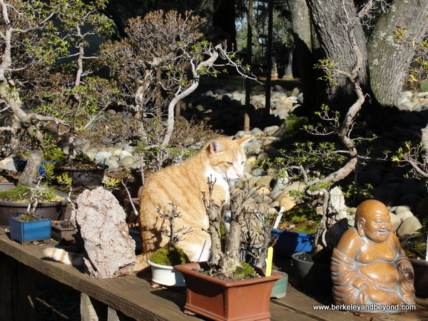 66-cat gallery-California-Coloma-Lotus Bonsai Nursery-c2010 Carole Terwilliger Meyers-600pix
