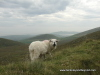 Ireland-Dingle-Conor Pass-sheep-ram-c2013-Carole Terwilliger Meyers-100pix