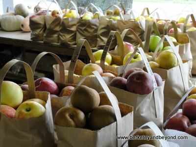 PHILO-Gowan's Oak Tree-apples in bags 1-c2011 Carole Terwilliger Meyers-400pix