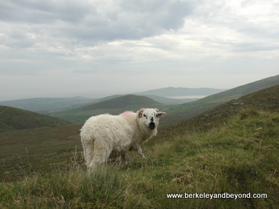 Ireland-Dingle-Conor Pass-sheep-ram-9-13-400pix(cCaroleTerwilligerMeyers)